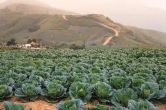 Chou cultivé par terres cultivables Images libres de droits