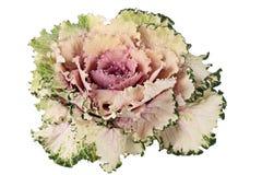 Chou décoratif. Photos stock