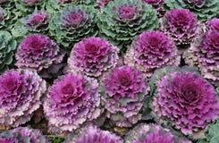 Chou décoratif de couleur Image stock