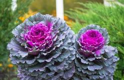 Chou décoratif pourpre et vert, usines ornementales de chou Vue supérieure sur le chou ornemental fleurissant Image stock