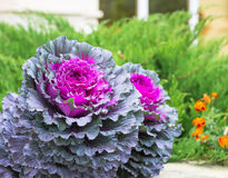 Chou décoratif pourpre et vert, usines ornementales de chou Vue supérieure sur le chou ornemental fleurissant Photos stock