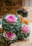 Chou décoratif pourpre et vert, usines ornementales de chou Vue supérieure sur le chou ornemental fleurissant Photographie stock