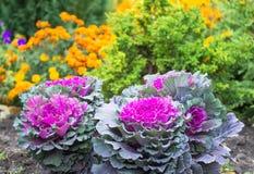 Chou décoratif pourpre et vert, usines ornementales de chou Vue supérieure sur le chou ornemental fleurissant Photos libres de droits