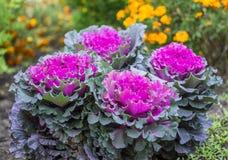 Chou décoratif pourpre et vert, usines ornementales de chou Vue supérieure sur le chou ornemental fleurissant Images libres de droits