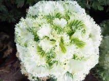 Chou d'Ornamental de brassica oleracea Photos stock