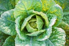 Chou dans le carré de légumes Image libre de droits