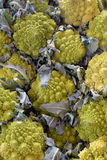 Chou de broccoli de Romanesco Photo stock