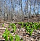 Chou de mouffette dans les bois, premier ressort Images libres de droits