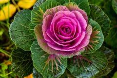Chou-fleur Photo libre de droits