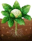 Chou-fleur avec des racines dans la terre illustration stock