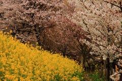 Chou-fleur et cerise photos libres de droits