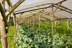 Chou-fleur organique s'élevant en vert très simple de pépinière d'usine Photo stock