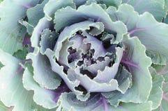 Chou-fleur pourpré Photographie stock libre de droits