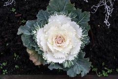 chou frisé d'ornamental de fleur Photographie stock libre de droits