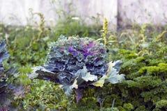 Chou frisé de chou pourpre et vert dans le jardin, vue de côté Images libres de droits