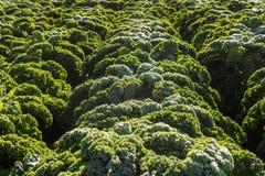 Chou frisé frais s'élevant à une ferme pendant l'horaire d'hiver Photographie stock libre de droits