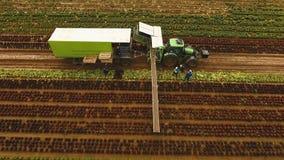 Chou moissonnant par le tracteur Champ avec des rangées de salade Photos libres de droits
