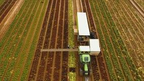Chou moissonnant par le tracteur Champ avec des rangées de salade Photo stock