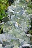Chou organique dans un jardin Photo stock
