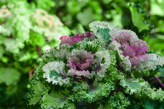 Chou ornemental Photo libre de droits