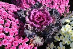 Chou ornemental avec les chrysanthèmes roses et blancs dans le flo images stock
