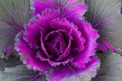 Chou ornemental coloré dans le jardin Image libre de droits