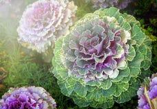 Chou ornemental décoratif vert de plan rapproché Images stock