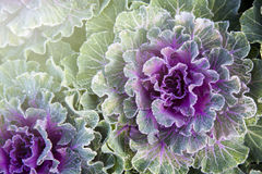 Chou ornemental décoratif vert de plan rapproché Image stock