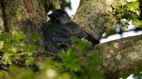 Choucas dans le nid images stock