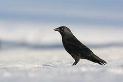 Choucas, monedula de Corvus Photos libres de droits