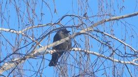 Choucas se reposant sur la branche d'un bouleau sur un fond de ciel bleu banque de vidéos