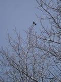 Choucas suédois solitaire se reposant dans un arbre couvert de neige Photographie stock libre de droits