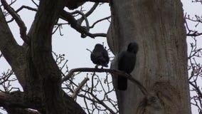 Choucas sur un arbre Quelques oiseaux noirs banque de vidéos