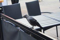 Choucas sur un plan rapproché de barrière de café Le choucas occidental est un oiseau dans la famille de corneille photos stock