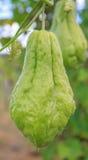 Chouchou della zucchina centenaria su una pianta in azienda agricola fotografia stock
