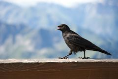 Chough Stock Photography