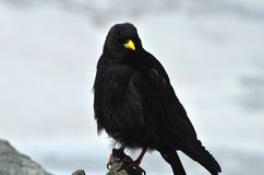 Chough alpestre Photo libre de droits