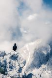 Chough alpin se reposant sur une roche Photos stock