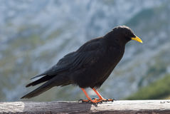 Chough alpino Fotografia Stock