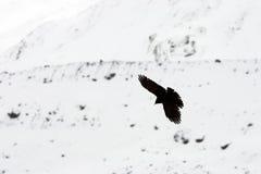 Chough alpino Fotografia Stock Libera da Diritti
