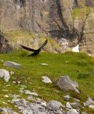 Chough alpino de aterrissagem com um mountainbacground fotografia de stock
