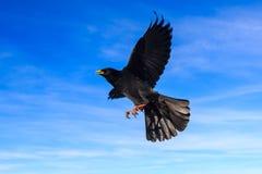 Chough alpino em um voo Fotografia de Stock Royalty Free