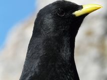 Chough, Bird, Black, Bill Stock Photo
