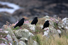 Chough Birds Stock Photos