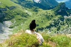 Chough en alpien landschap, Oostenrijk Royalty-vrije Stock Foto's