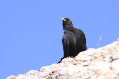 chough Jaune-affiché Photo stock