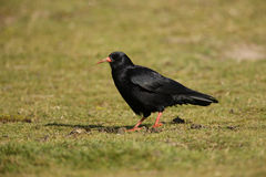 Chough, Pyrrhocorax pyrrhocorax Stock Photography
