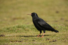 Chough, Pyrrhocorax pyrrhocorax Stock Images