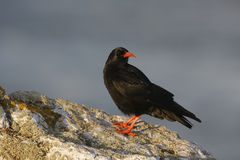 Chough, Pyrrhocorax pyrrhocorax Royalty Free Stock Images