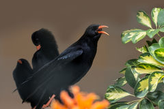 Choughs. Loud raspy chough with two colleagues of the same Kind Royalty Free Stock Image